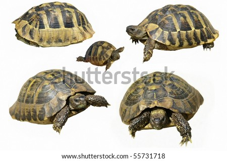 Set Hermann's Tortoise and baby turtles  isolated on a white background - stock photo