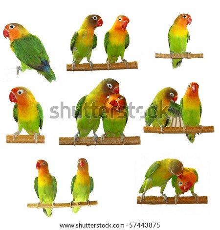 Set lovebirds agapornis-fischeri isolated on white background  (Fischer's Lovebird) - stock photo