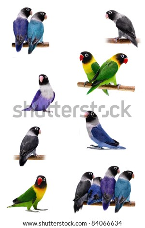 Set Lovebirds isolated on white Agapornis Masked (Masked Lovebird)
