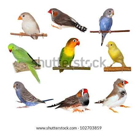 Set Lovebirds, Yellow canary, Zebra Finch, Budgerigar, Rose ringed parakeet,  isolated on white background with clipping path - stock photo