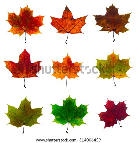 set of autumn fallen maple leaves isolated on white background - stock photo