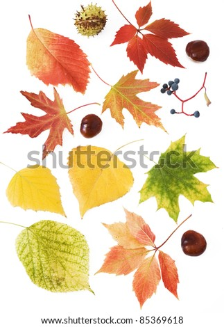 Set of autumn leaves,chestnuts and wild grapes isolated on white sample text - stock photo