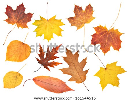 Set of beautiful colorful autumn leaves isolated on white  - stock photo