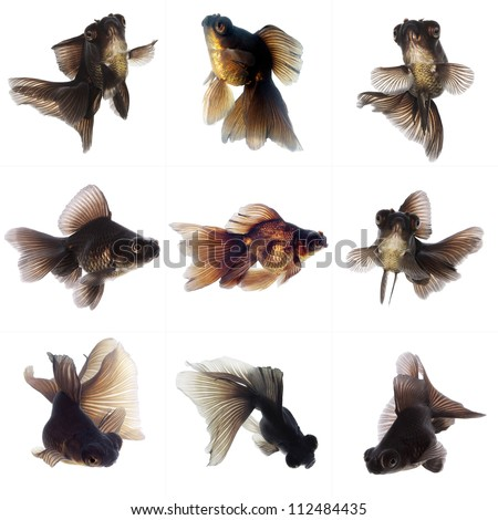 Set of Black  Goldfish on White Background Without Shade - stock photo