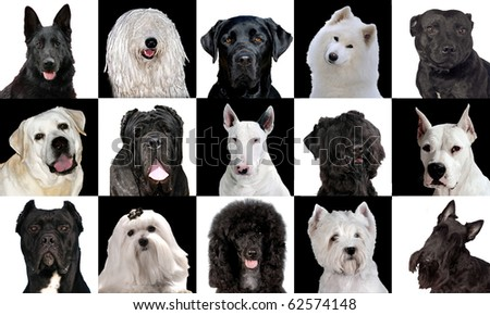 Set of 15 black & white dog breeds in studio - stock photo