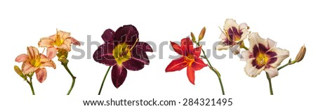 Set of 5 blossoming flowers daylily in the dew drops on isolated background  - stock photo