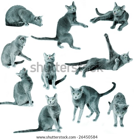Set of blue russian cats on isolated white background - stock photo
