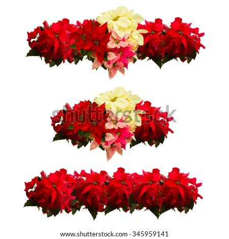 set of borders of fresh scarlet, pink and white poinsettia flower or christmas star  on a white background  - stock photo