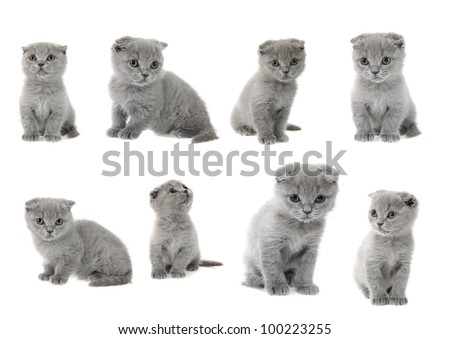 set of British kittens on a white background, is isolated.