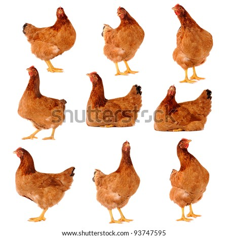 Set of brown chicken isolated on white., studio shot. - stock photo