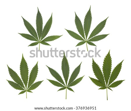Set of cannabis leaves set. Each leaf is isolated on white.  - stock photo