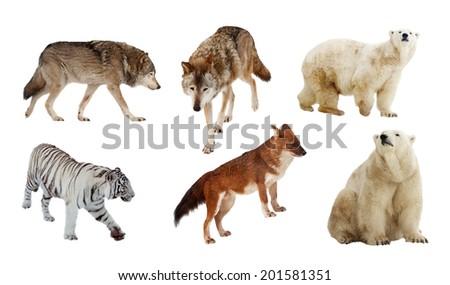 Set of Carnivora mammal. Isolated over white background  - stock photo