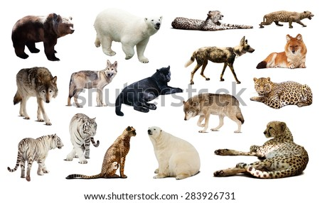 Set of Cheetah and other predators. Isolated over white background  - stock photo