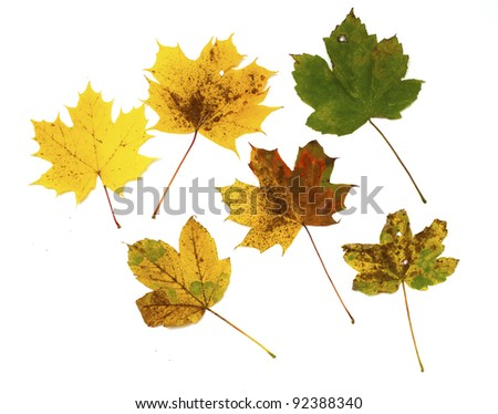 set of colorful autumn maple leafs isolated on white - stock photo