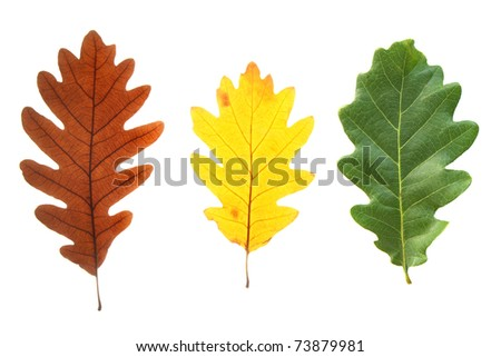 Set of colorful oak leaves isolated on white - stock photo