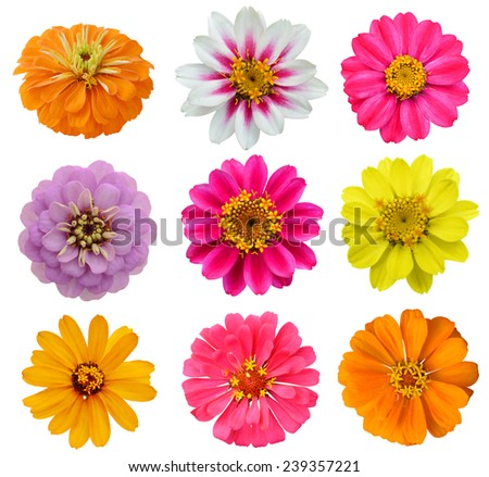 set of colorful zinnia flowers
