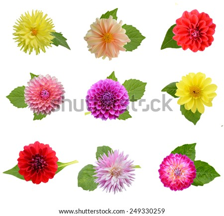 Set of dahlia flower heads with leaf, isolated on white  - stock photo