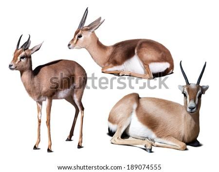Set of dorcas gazelle (Gazella dorcas).  Isolated on white with shade - stock photo