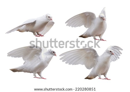 set of dove poses isolated on white background - stock photo