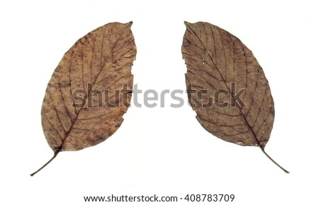 Set of Dried walnut leaves isolated on white. - stock photo