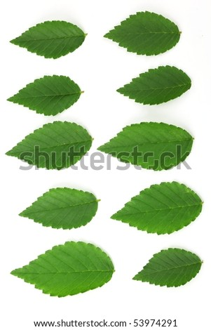 Set of elm leaves isolated on white. - stock photo