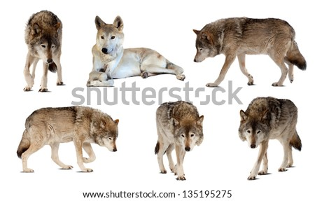 Set of few wolves. Isolated  over white  with shade - stock photo