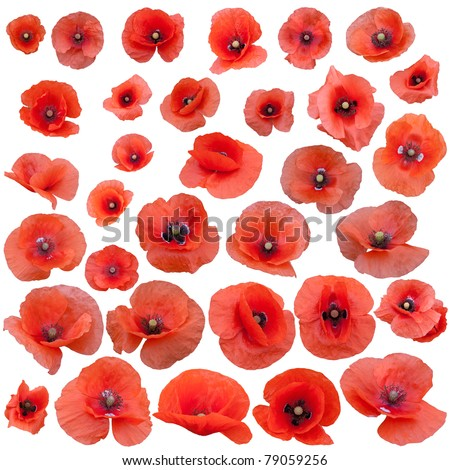 Set of field poppies. Isolated on white background. - stock photo