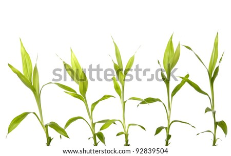 Set of five bamboo leaves isolated