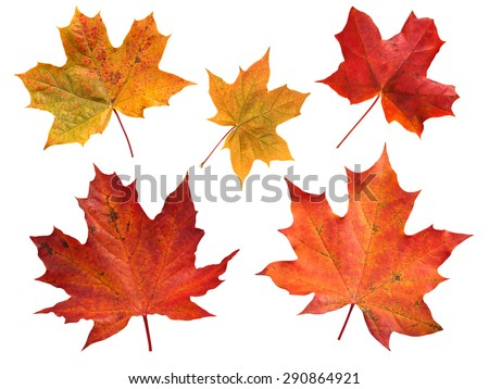 Set of five red and yellow maple leaves isolated on white