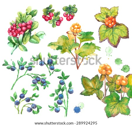 Set of forest berries with leaves: cloud berry, bilberry and cow berry. Watercolor painting on white background. - stock photo