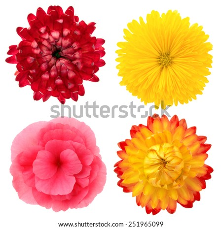 Set of four flowers. Two immortelles, begonia, chrysanthemum. Deep focus. No dust. No pollen. - stock photo