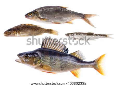 set of four freshwater fishes isolated on white background - stock photo