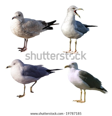 Set of four seagulls isolated on white background - stock photo