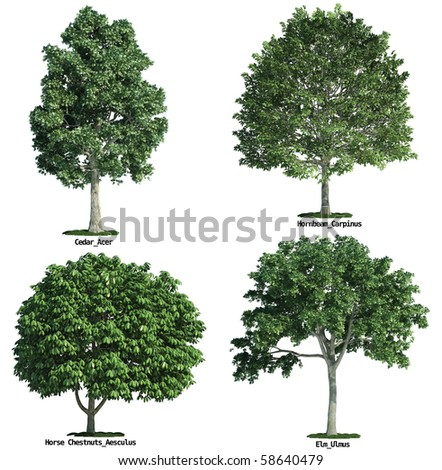 set of four trees isolated against pure white, maple, horse chestnuts, hornbeam, elm - stock photo