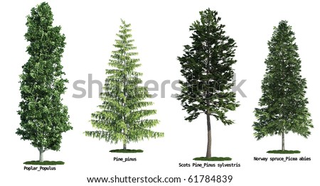 set of four trees isolated against pure white, Poplar, Scots Pine, Pine, Morway Spruce - stock photo