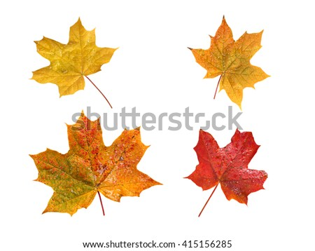 Set of four yellow and red fall maple leaves with water drops isolated on white - stock photo