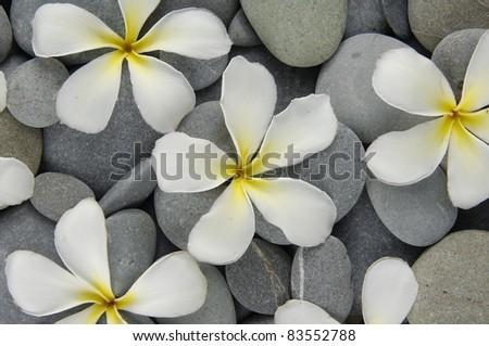 Set of frangipani flowers on gray pebbles texture - stock photo