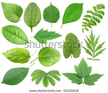 Set of green leaf. Isolated on white background. Close-up. Studio photography.