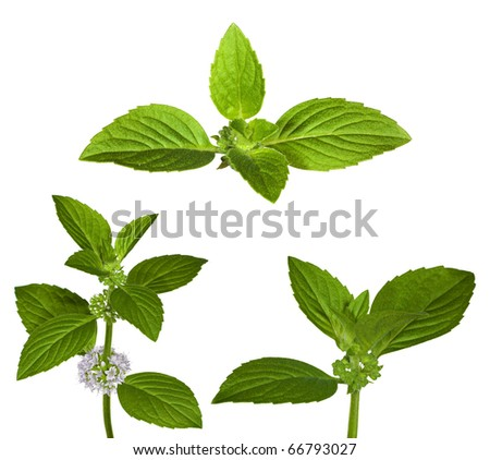 set of green mint leaves isolated on white background - stock photo