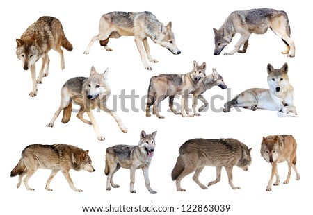 Set of grey wolves. Isolated  over white background - stock photo