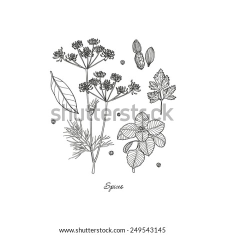 Set of Herbs and Spices. Natural spices. Compilation of sketches. Kitchen herbs and spice. Vintage style. Hand drawn. - stock photo