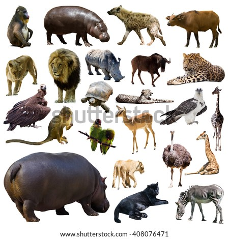 Set of hippo and other African animals. Isolated on white background - stock photo