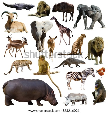 Set of hippopotamus and other African animals. Isolated on white background - stock photo