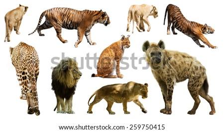 Set of  hyena (Crocuta crocuta) and other feliformia. Isolated on white background   - stock photo