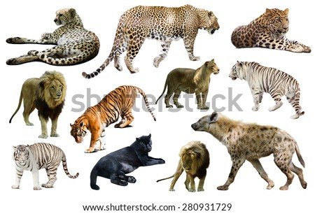 Set of  hyena, leopard  and other feliformia. Isolated on white background   - stock photo