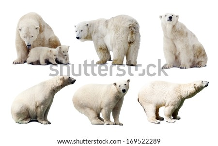 Set of images of polar bears. Isolated over white background with shade - stock photo
