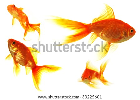 set of isolated golden fish - stock photo