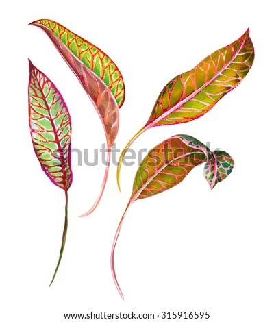 set of isolated tropical leaves. Croton plant - red green leaf with veins and spots. Hyper natural botanical illustration, very detailed.  - stock photo