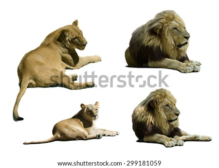Set of laying  lions. Isolated on white background with shade - stock photo
