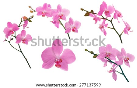 set of light pink orchid flowers isolated on white background - stock photo
